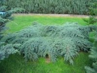 Borovica Juniperus squamata 'Blue carpet'